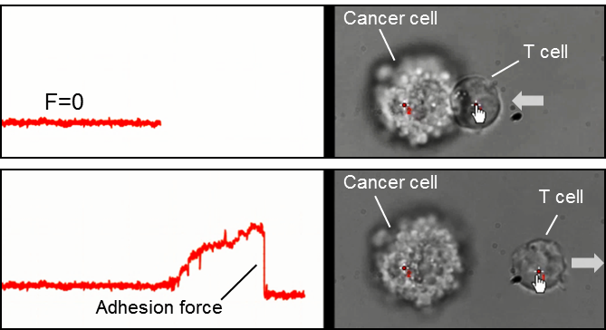 immune cell cell interaction engaged and measured with SENSOCELL optical tweezers