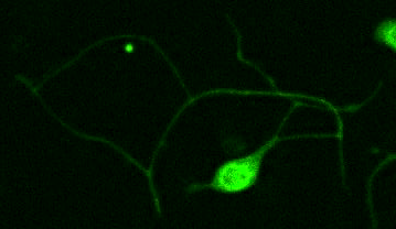 membrane tether pulling with optical tweezers on neuron axon.