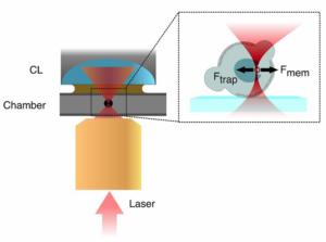 cell nucleus mechanotransduction paper experimental sketch